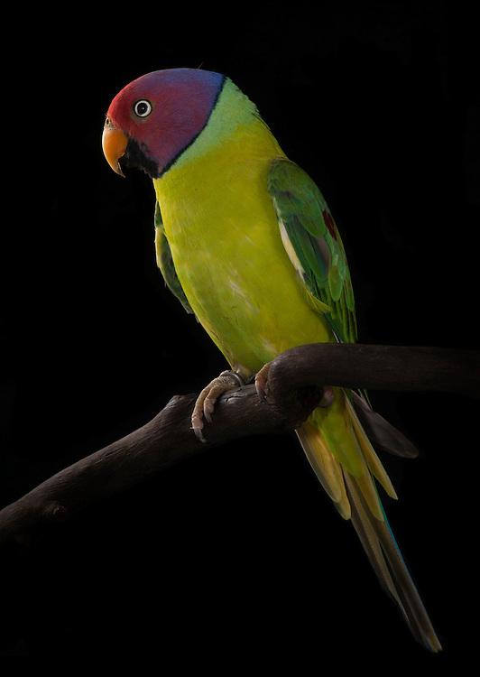 Plum Headed Parrot, (Psittacula cyanocephala); captive, credit: Pandemonium Aviaries/M.D.Kern