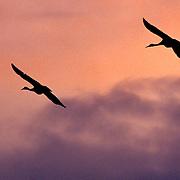 Two Sandhill Cranes Monte Vista NWR