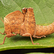 Orthoptera  (Katydids, Grasshoppers)