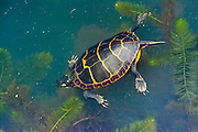 Painted Turtle - Chrysemys picta swimming in the water