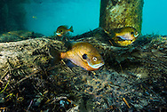 Bluegill (on nest)<br />
