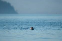 Harbor Seal (Phoca vitulina) in Obstruction Pass off Orcas Island, San Juan Islands, Washington, US