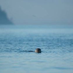 Harbor Seal (Phoca vitulina) in Obstruction Pass off Orcas Island, San Juan Islands, Washington, US