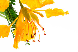 Yellow Poinciana#15