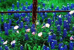Stock photo of a field of bluebonnets