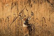 Whitetail buck in grassland habitat