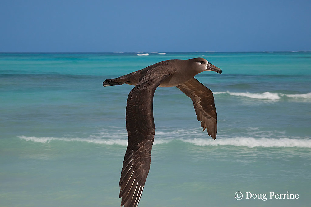 black-footed albatross, Phoebastria nigripes, flying, Sand Island, Midway Atoll, Midway National Wildlife Refuge, Papahanaumokuakea National Monument, Northwest Hawaiian Islands ( North Pacific Ocean )