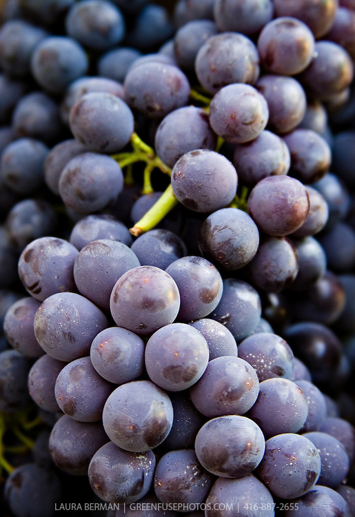 Fresh, local organicpurple Concord grapes biodynamically grown by Laura Sabourin's Feast of Fields and on sale at Toronto's Dufferin Grove organic farmers market.