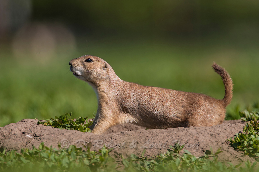 Black-tailed prairie dog in Colorado