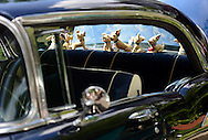 LANGHORNE, PA - JUNE 21:  Stuffed animals rest on a the rear deck of a 1957 BelAir during the Langhorne Classic Car Show June 21, 2014 in Langhorne, Pennsylvania.   Teams of cancer survivors and other participants walked around the school's track to raise money for cancer research. About 200 cars were on display at the 8th Annual event. (Photo by William Thomas Cain/Cain Images)