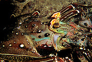 "Close up of a Spiny Lobster near Coiba Island, Panama. The former penal colony is now  a ""permit only"" area to visit and explore. In 2005 it became a UNESCO World Heritage Site due to its remarkable proliferance of rare corals and abundance of marine life."