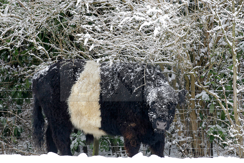 © Licensed to London News Pictures. 10/02/2012, London, UK.  A bull grazes on the snow covered North Down in Surrey, south London, as the cold weather continue to affect much of Britain. Friday, Feb. 10, 2012. Photo credit : Sang Tan/LNP