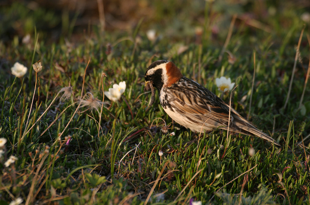 This lapland longspur (Calcarius lapponicus) has large insect in its beak. The longspur is among white wildflowers.