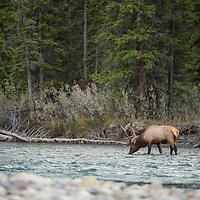 bull elk drinking in river