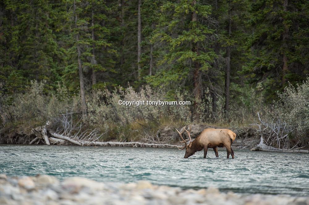 bull elk drinking in river