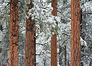 Ponderosa pine trees in the snow. From the forest on the South Rim of Grand Canyon National Park in Arizona.