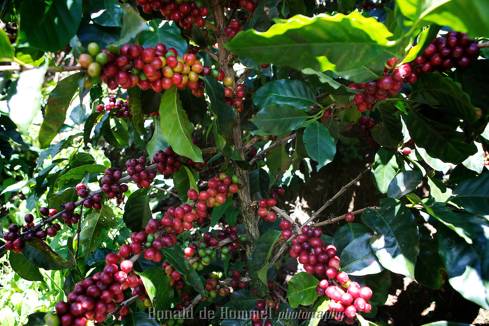 Arabica coffee of the castillo variety a new pest resistant Coffee plant, now popular in Colombia.