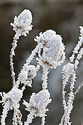 Winter scene hoar frost on teasel seed heads in The Cotswolds, UK