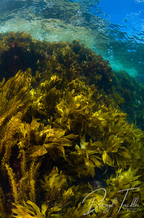 A background image of a vertical wall of kelp at the Alderman islands. New Zealand.