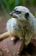 A meerkat at the Honolulu Zoo in Hawaii.