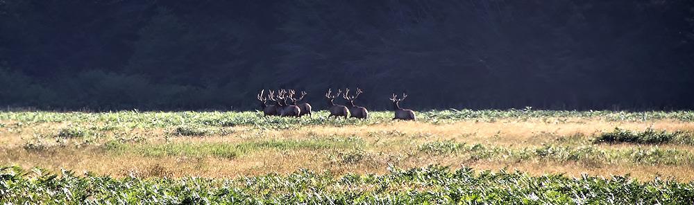 Elk at Prairie Creek Redwoods State Park