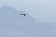 Short-tailed Hawk female (Buteo brachyurus), soaring high over habitat near nest; Arizona