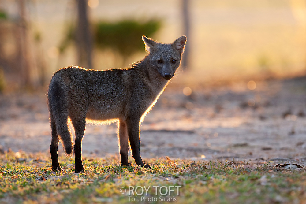 Portrait of a crab-eating fox (Cerdocyon thous), Pantanal, Brazil