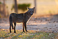 Portrait of a crab-eating fox (Cerdocyon thous), Pantanal, Brazil