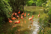A lagoon with American flamingos (Phoenicopterus ruber), Florida.