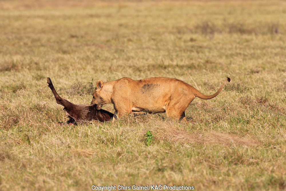 Female lion with wildebeest kill, Ngorongoro crater, Tanzania.