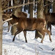 Nederland, Almere, Flevoland  26 januari 2010 20100126 ..Oostvaardersbos, een groepje edelherten grazen in het Oostvaardersbos. In deze tijd van het jaar trekken veel edelherten uit de Oostvaardersplassen naar het Oostvaardersbos.  Het bos is rustgebied voor de vele aanwezige edelherten. Die zoeken gedurende de winter het bos op om zoveel mogelijk de conditie op peil te houden. .Red deer resting in forest on wintersday. ..Foto: David Rozing