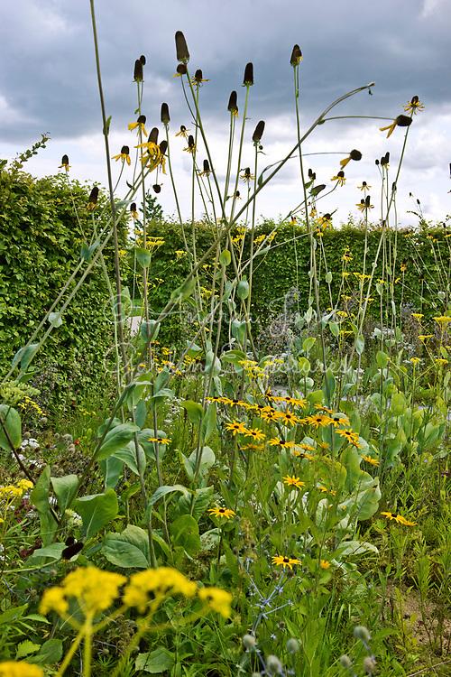 Carpinus betulus (hornbeam) hedge surrounding a border including Rudbeckia maxima (great coneflower), Echinacea paradoxa Gold Nugget (Ozark yellow coneflower), Patrinia scabiosifolia (Golden valerian, Golden lace), Anaphalis triplinervis and Aster amellus 'Rudolph Goethe'<br /> <br /> <br /> <br /> IGA Berlin 2017, 'The Garden of Vulcan'<br /> Design: Tom Stuart-Smith Ltd