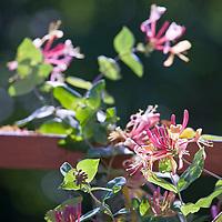 Annual and Perennial Vines: Lonicera Dropmore Scarlet  honeysuckle.