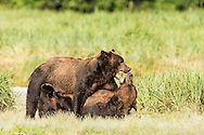 Male brown bears (Ursus arctos) wrestle for dominance to fish for salmon along Geographic Creek at Geographic Harbor in Katmai National Park in Southwestern Alaska. Summer. Morning.