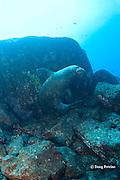 Hawaiian monk seal, Monachus schauinslandi, Critically Endangered endemic species, mature male, Lehua Rock, off Niihau, Hawaii ( Central Pacific Ocean )