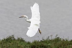 Snowy Egret (Egretta thula) flying, Baylands Nature Preserve, Palo Alto, California, United States of America