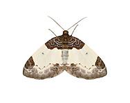 70.068 (1748)<br /> Beautiful carpet - Mesoleuca albicillata