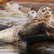 A harbor seal mom and her newborn pup with umbilical cord rest on a log boom. Washington.