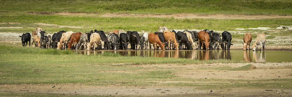 Masai Livestock
