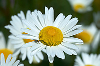 Daisy with fly Mount Washington, Vancouver Island, British Columbia   Photo: Peter Llewellyn