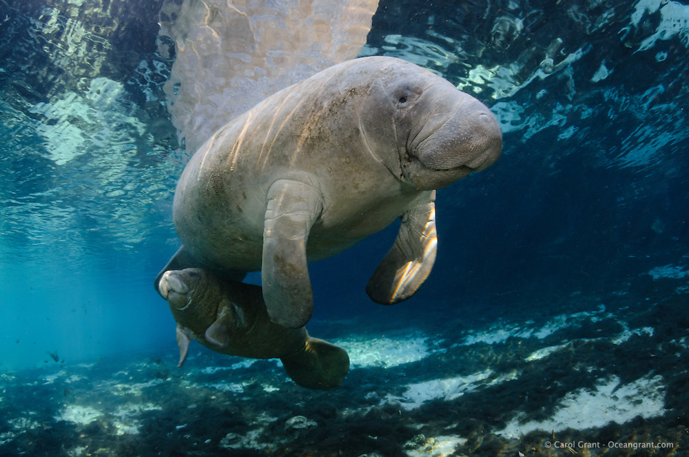 Florida manatee, Trichechus manatus latirostris, a subspecies of the West Indian manatee, endangered. Series depicting the close bond of manatee mother and calf. A mother swims with her calf in tow near the calm surface. in the warm freshwater springs. Peaceful, natural, undistrubed intimate scene. Horizontal orientation with blue spring water, rainbow sun rays and reflection. Three Sisters Springs, Crystal River National Wildlife Refuge, Kings Bay, Crystal River, Citrus County, Florida USA. License on Getty Images http://www.gettyimages.com/Search/Search.aspx?assettype=image&family=creative&artist=Carol+Grant