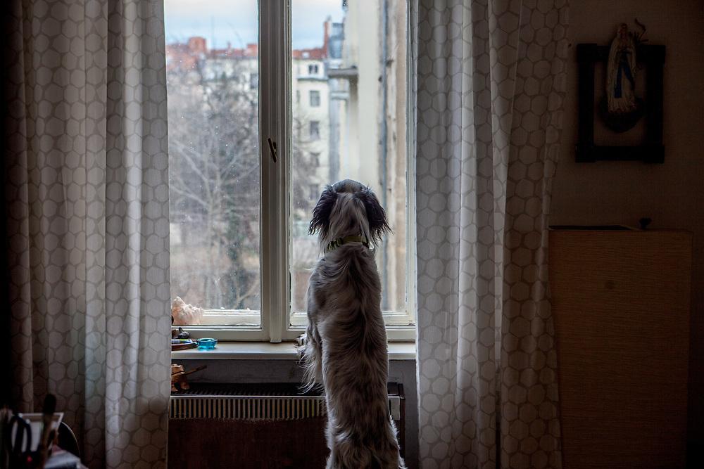 "English Setter ""Rudy"" schaut am 03.03. 2019 aus dem Fenster in Prag Vinohrady.  Rudy wurde Anfang Januar 2017 geboren."