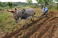 José Maria Felíx, 89 years old, ploughing with his donkey,.Faia Brava and  Côa valley Archaeological park,.Portugal