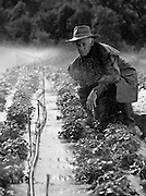 Farmer checking Irrigation of strawberry plants