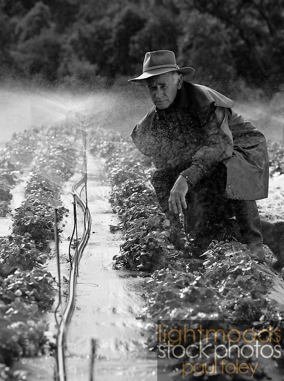 Farmer checking Irrigation of strawberry plants