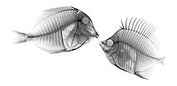 X-ray image of a fish encounter (black on white) by Jim Wehtje, specialist in x-ray art and design images.
