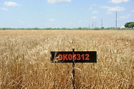 Wheat Variety Trials at OSU Agronomy Research Station in Stillwater Oklahoma