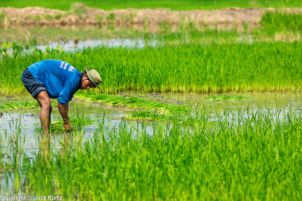"15 NOVEMBER 2012 - PATHUM THANI, PATHUM THANI, THAILAND: A farmer transplants baby rice in a field near Pathum Thani. The Thai government under Prime Minister Yingluck Shinawatra has launched an expansive price support ""scheme"" for rice farmers. The government is buying rice from farmers and warehousing it until world rice prices increase. Rice farmers, the backbone of rural Thailand, like the plan, but exporters do not because they are afraid Thailand is losing its position as the world's #1 rice exporter to Vietnam, which has significantly improved the quality and quantity of its rice. India is also exporting more and more of its rice. The stockpiling of rice is also leading to a shortage of suitable warehouse space. The Prime Minister and her government face a censure debate and possible no confidence vote later this month that could end the scheme or bring down the government.    PHOTO BY JACK KURTZ"