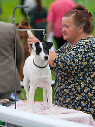 © Licensed to London News Pictures. 18/08/2018. Llanelwedd, Powys, UK. A Smooth Fox Terrier get groomed before  judging takes place on the second day of The Welsh Kennel Club Dog Show, held at the Royal Welsh Showground, Llanelwedd in Powys, Wales, UK. Photo credit: Graham M. Lawrence/LNP