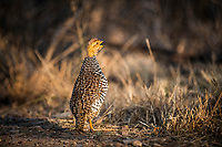Male Coqui francolin calling, Pilanesberg National Park, North West, South Africa
